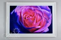 Framed Photograph of Brilliant Colorful Flower